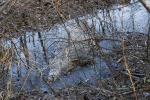 Aafrika seakatku surnud metssiga Roosilla kandis Foto: Elmo Riig / Sakala